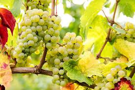 ニューワールド・リースリング | Wine Communicate